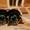 щеночки йоркширского терьера #797169