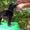 Щенок Стандартного Пуделя #995503