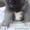 Продам щенков Американской акиты #1326826