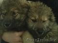 подам 2 очаровательных щенка